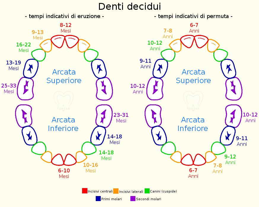 Denti decidui: tempi indicativi